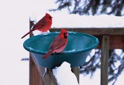 Cardinals on heated birdbath in winter.