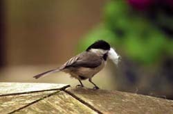 Chickadee with nest material.